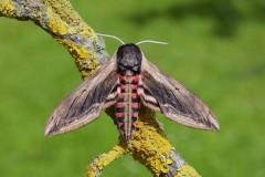 Sphinx ligustri - Privet Hawk-moth, Woodside Nurseries, Austerfield