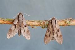 Sphinx pinastri - Pine Hawk-moth, Woodside Nurseries, Austerfield.