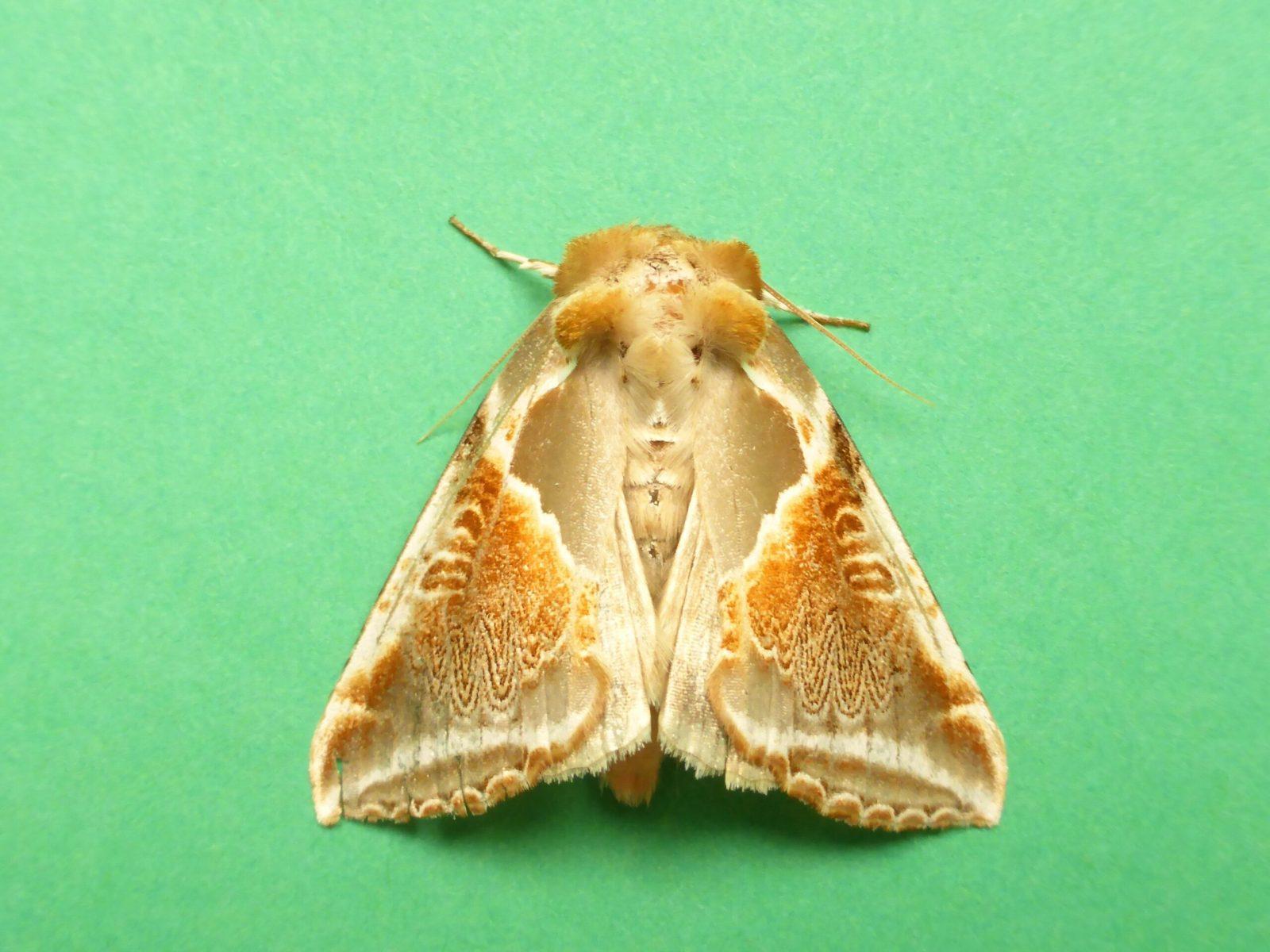 Habrosyne pyritoides - Buff Arches - Kirk Smeaton