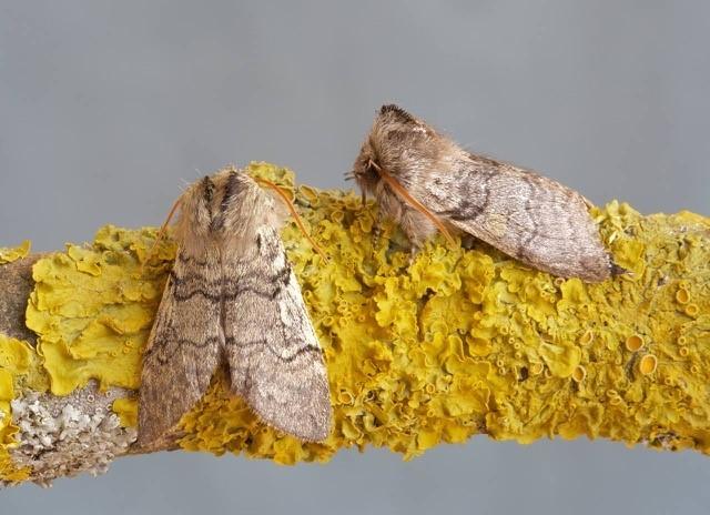 Achlya flavicornis - Yellow Horned, Woodside Nurseries, Austerfield.