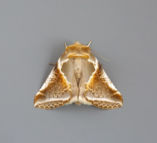 Habrosyne pyritoides - Buff Arches, Woodside Nurseries, Austerfield.
