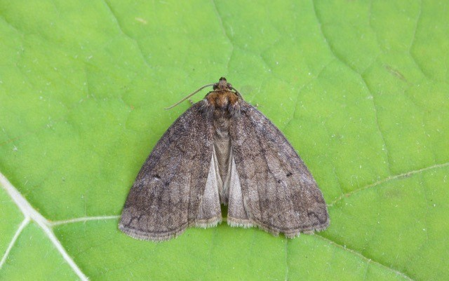Ochropacha duplaris - Common Lutestring, Woodside Nurseries, Austerfield.