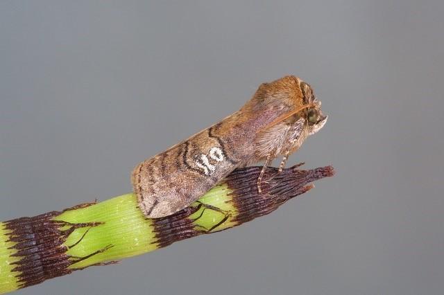 Tethea ocularis - Figure of Eighty, Woodside Nurseries, Austerfield.
