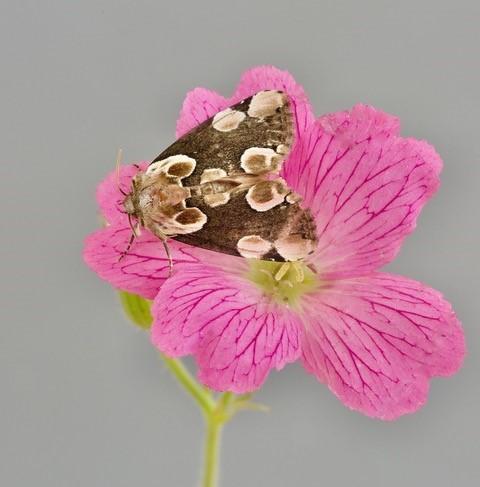 Thyatira batis - Peach Blossom, Woodside Nurseries, Austerfield.