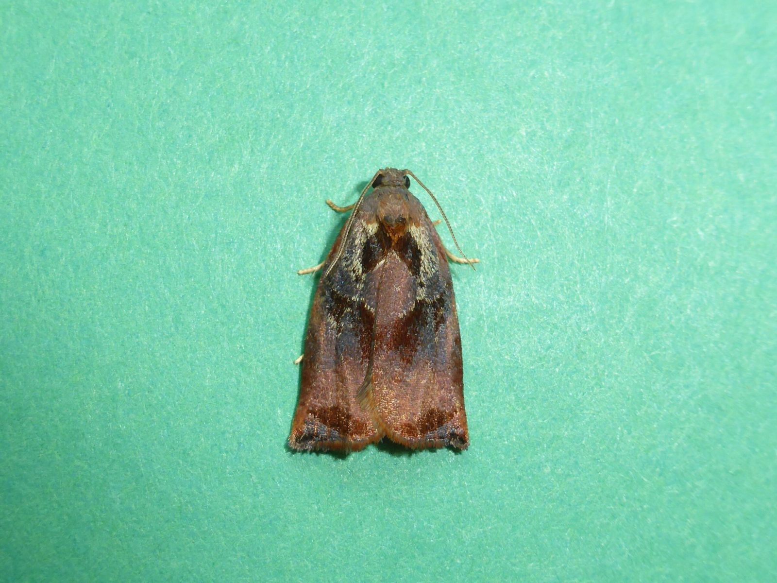 Archips podana - Large Fruit-tree Tortrix male - Kirk Smeaton