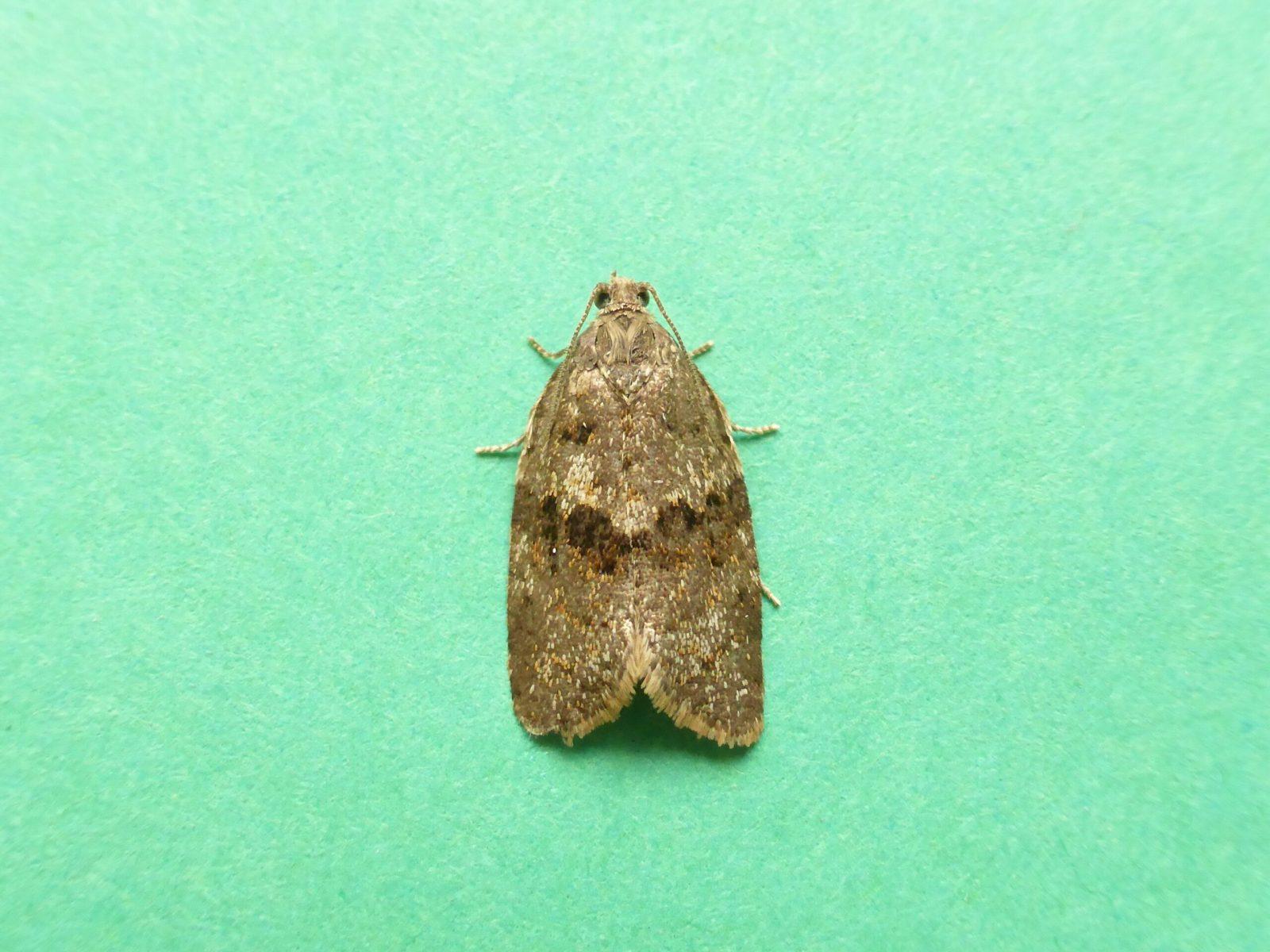 Syndemis musculana - Hatfield Moors