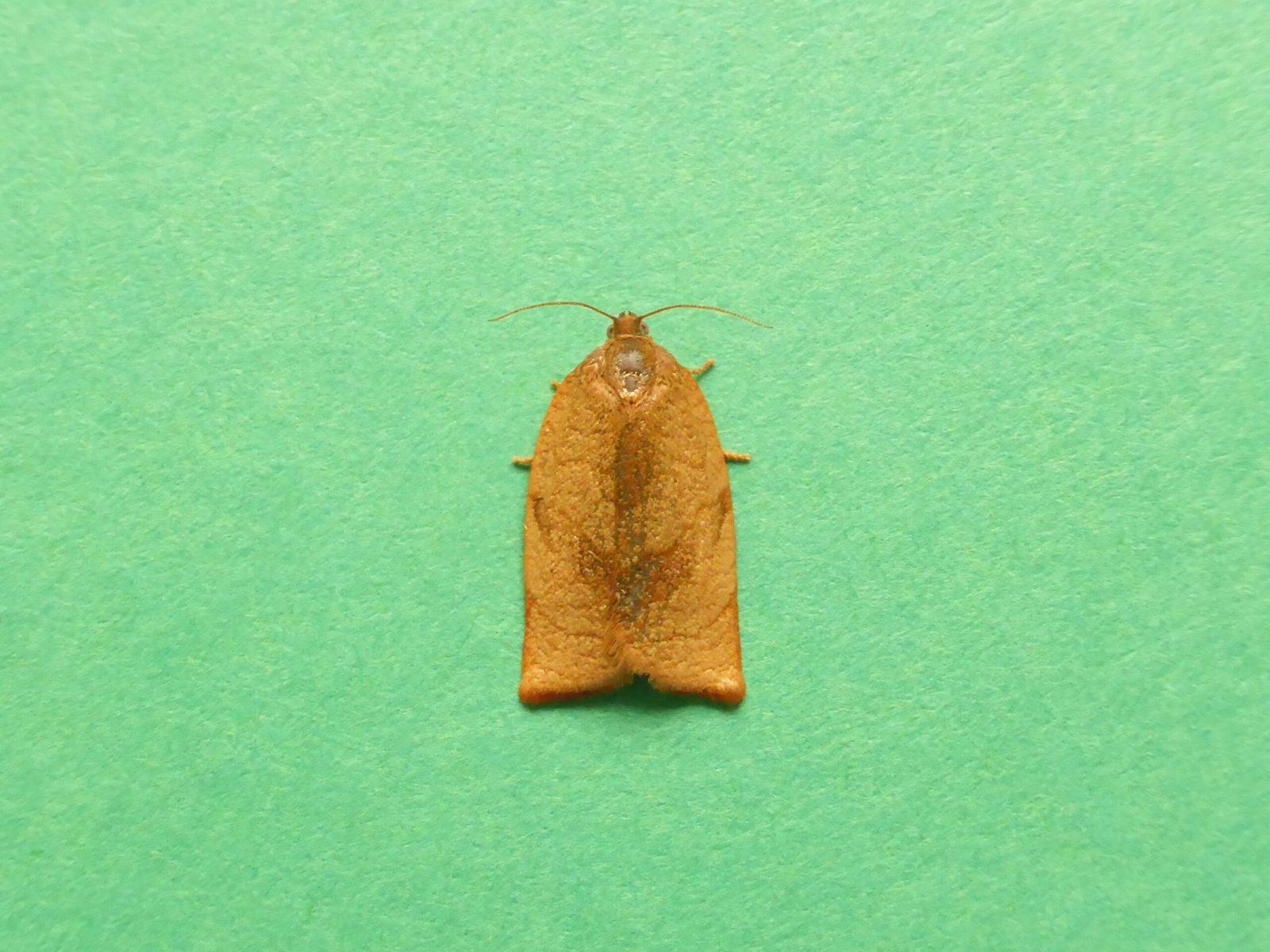 Caeoecimorpha pronubana - Carnation Tortrix - KIrk Smeaton