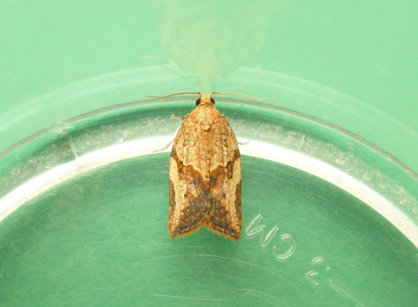 Epiphyas postvittana - Light Brown Apple Moth - KIrk Smeaton