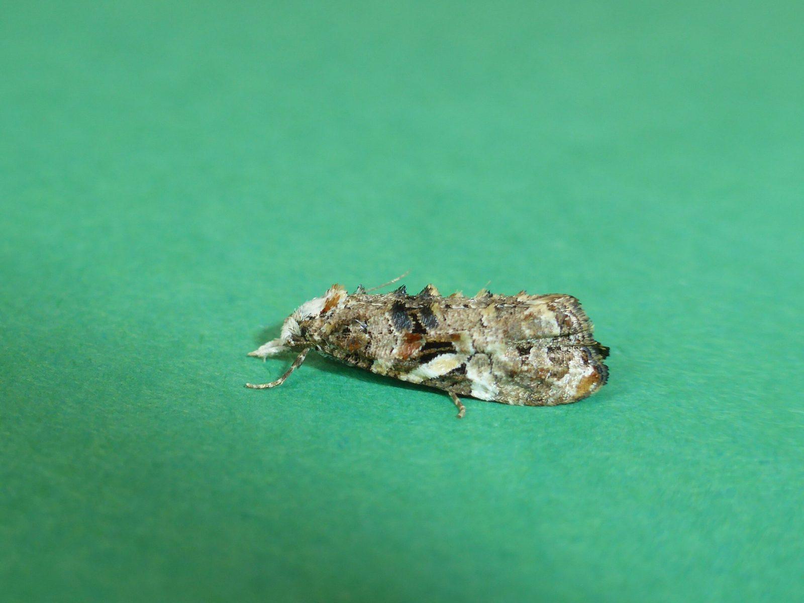 Phtheochroa rugosana - Kirk Smeaton