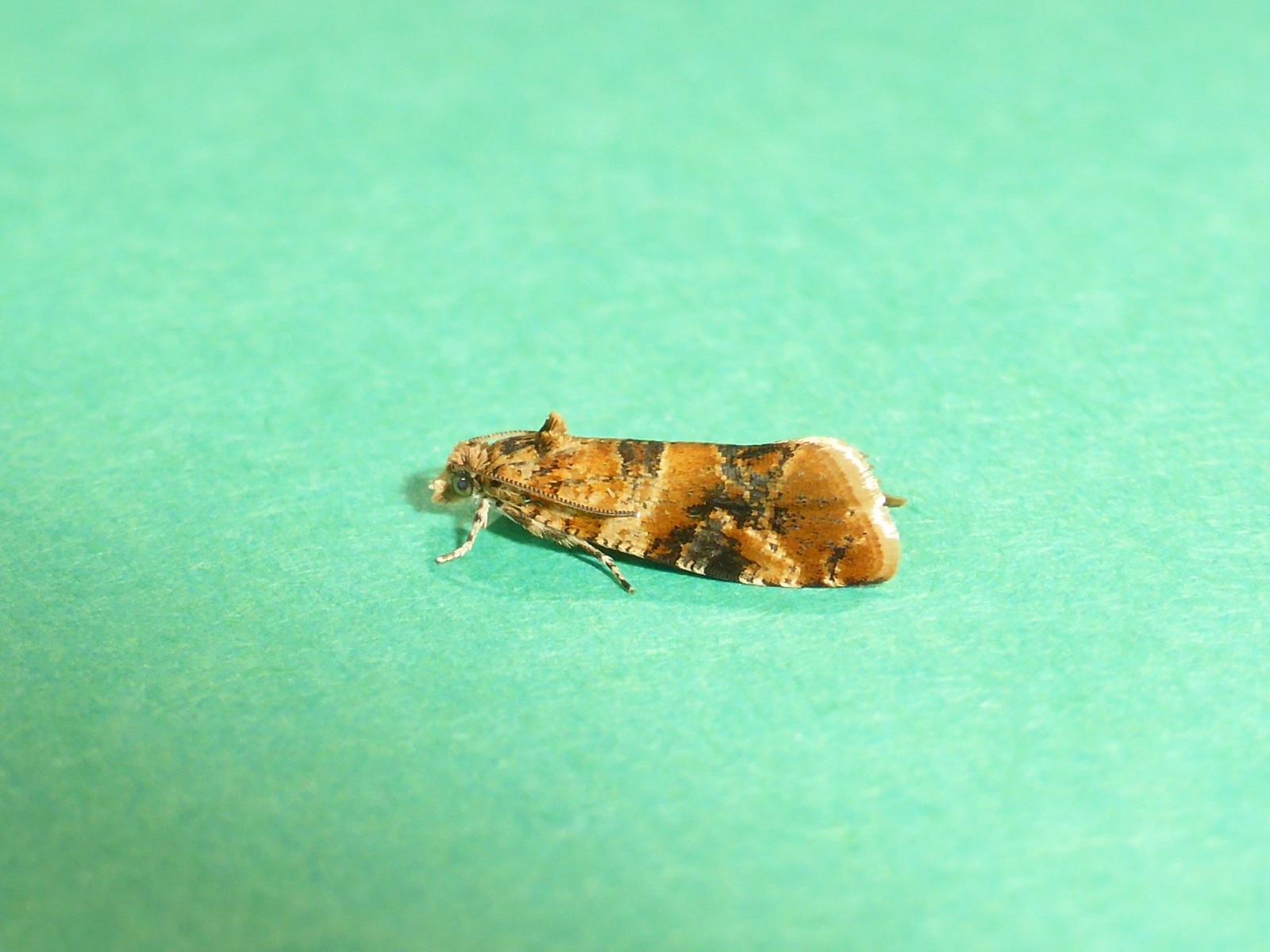 Lobesia reliquana - Hatfield Moors NNR