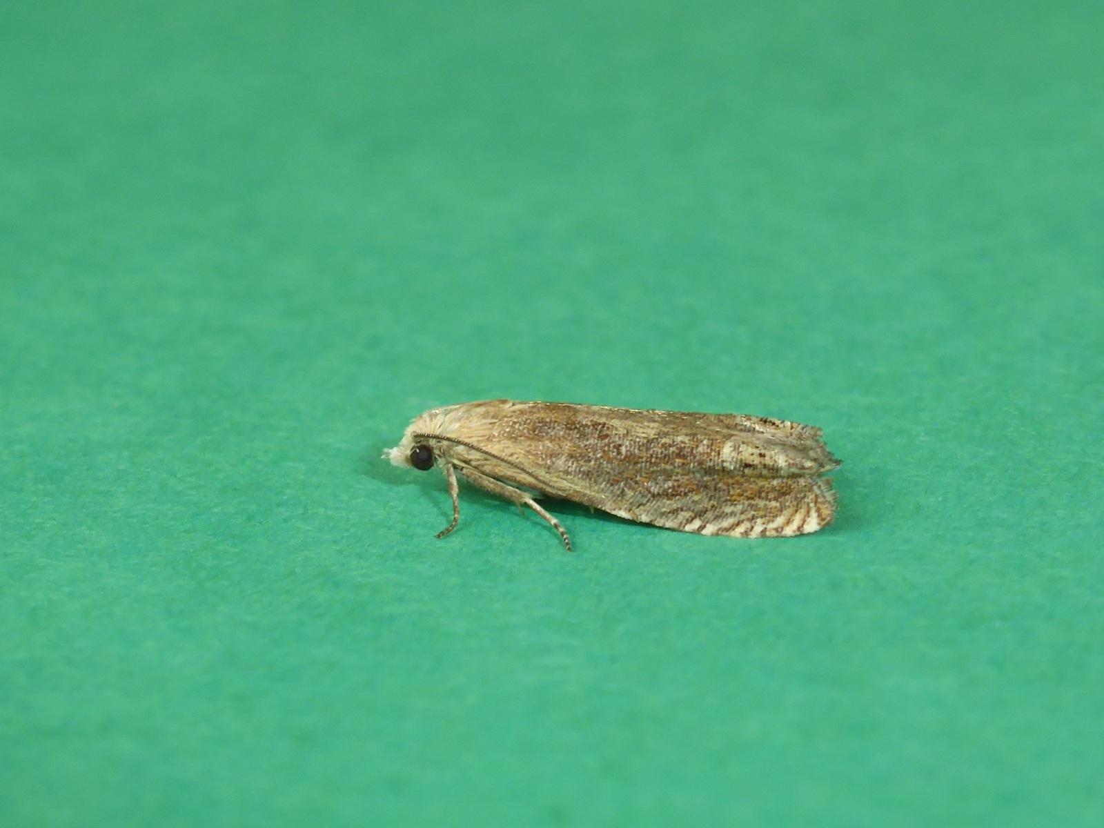 Eucosma hohenwartiana - Brockadale NR