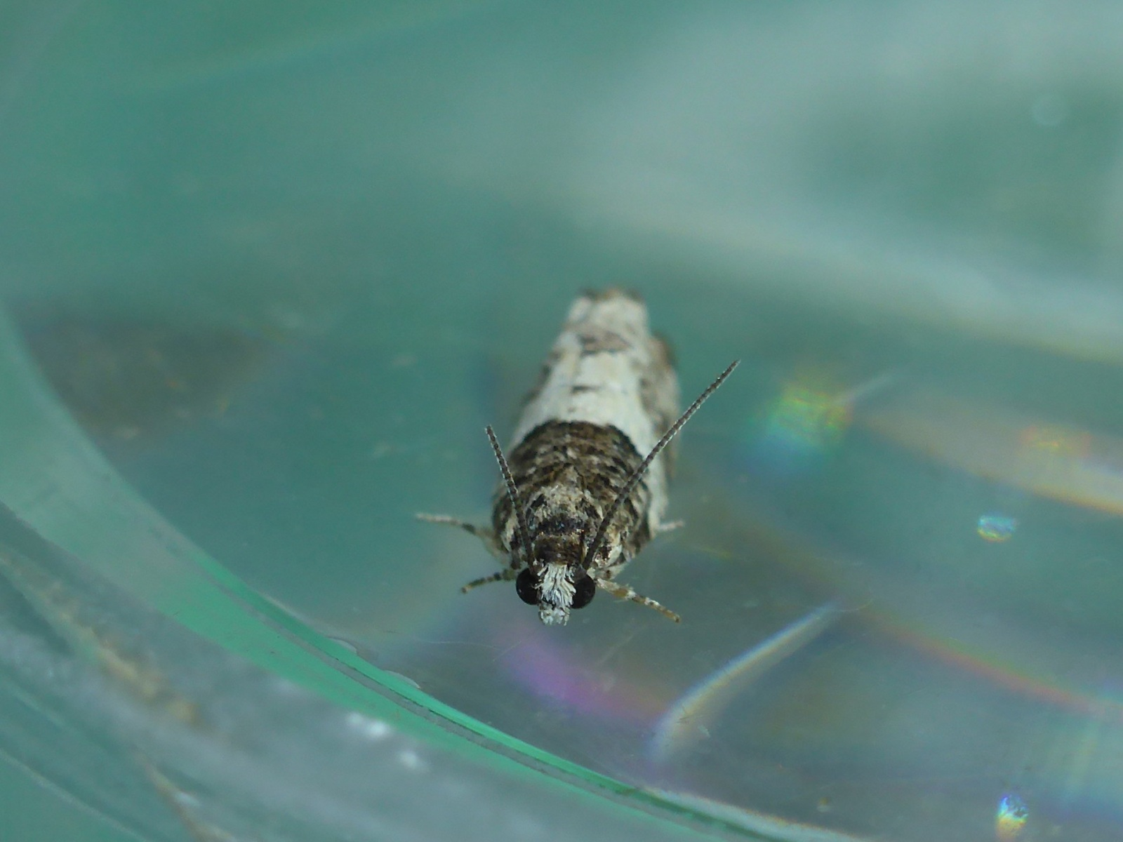 Gypsonoma sociana - Kirk Smeaton