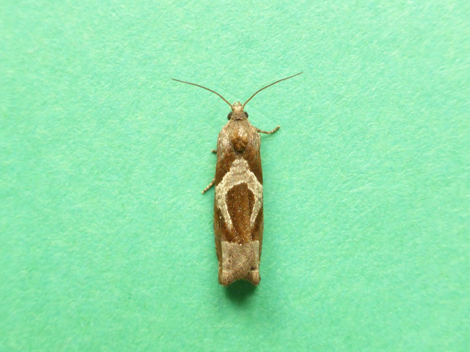 Epiblema foenella - Kirk Smeaton