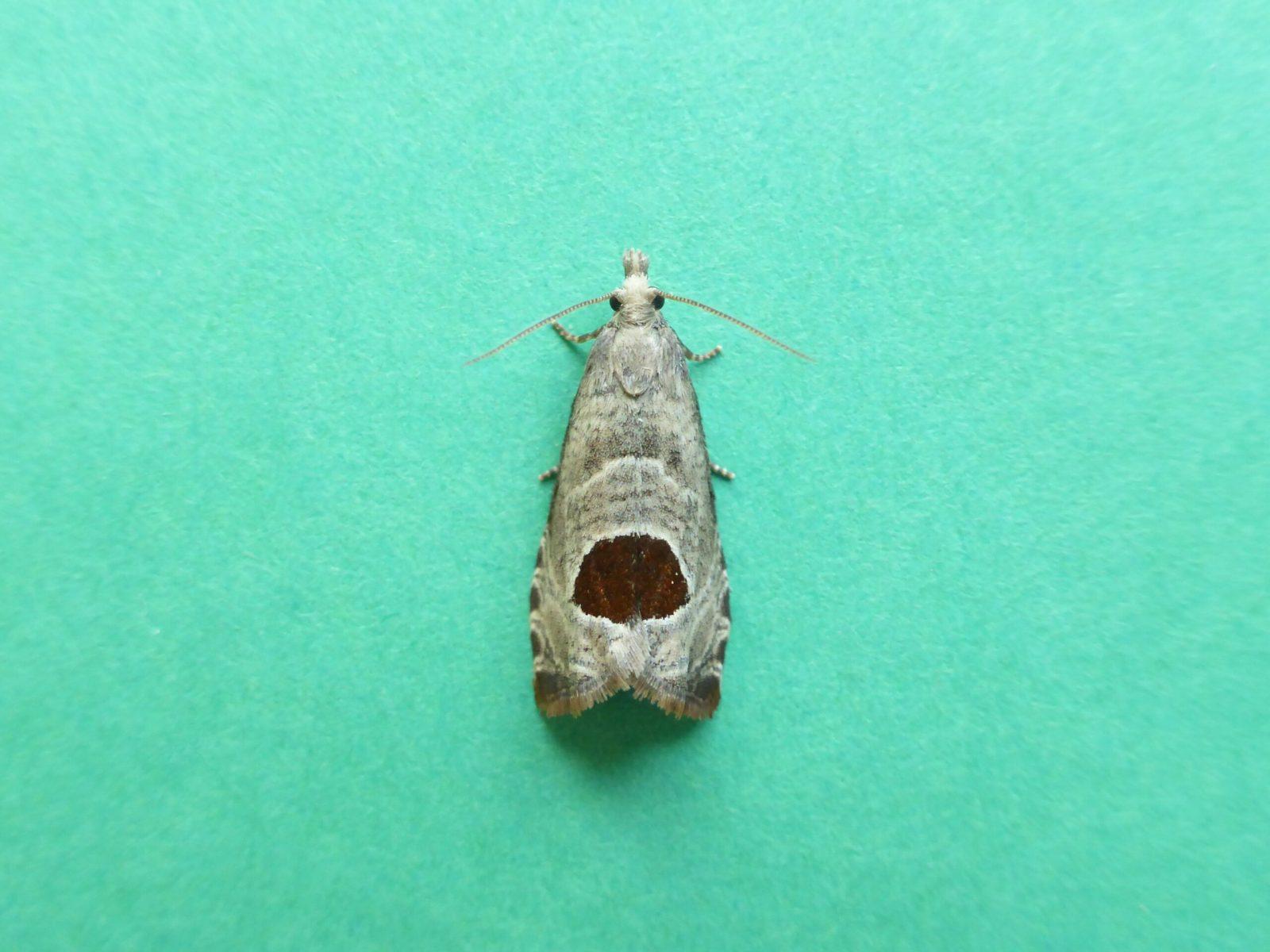 Notocelia uddmanniana - Bramble Shoot Moth - Kirk Smeaton