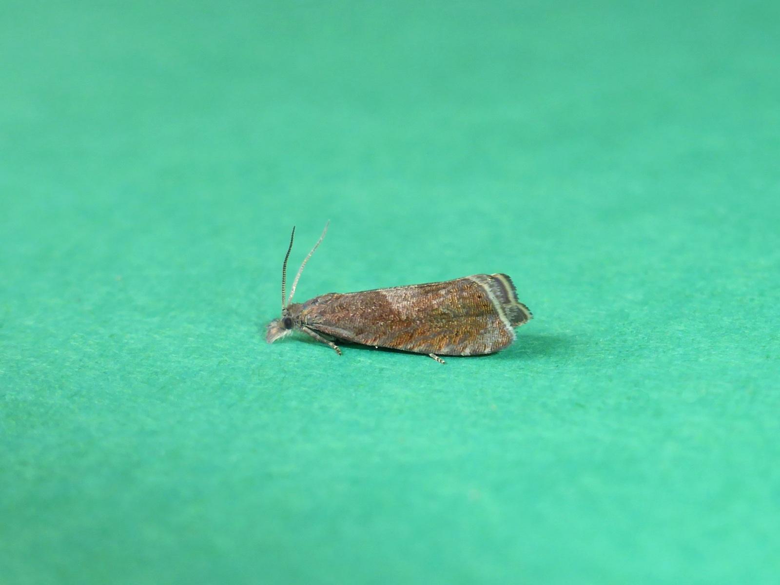 Dichrorampha acuminatana - Kirk Smeaton