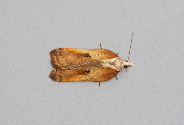 Acleris cristana, Woodside Nurseries, Austerfield.