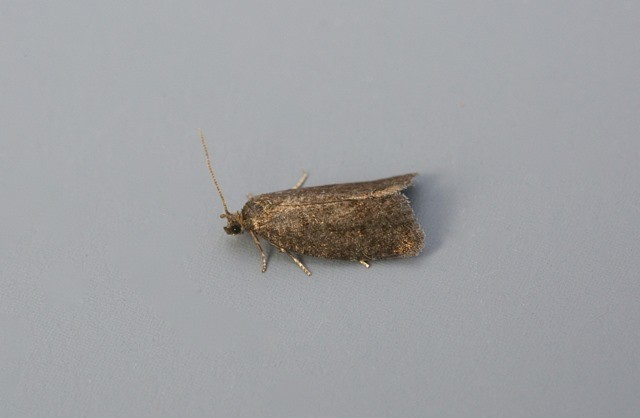 Neosphaleroptera nubilana, Woodside Nurseries, Austerfield.