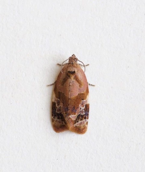 Ditula angustiorana - Red-barred Tortrix, Woodside Nurseries, Austerfield.