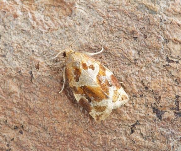 Archips xylosteana - Variegated Golden Tortrix, Woodside Nurseries, Austerfield.