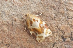 Archips xylosteana - Variegated Golden Tortrix, Woodside Nurseries, Austerfield.