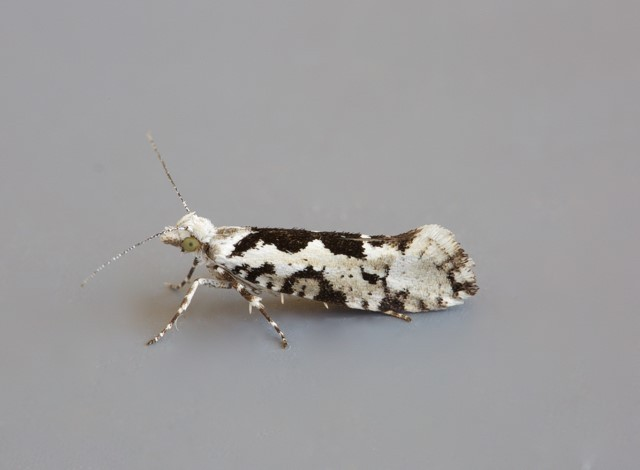 Ypsolopha sequella, Woodside Nurseries, Austerfield.