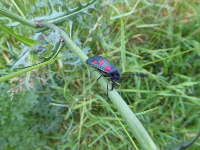 Zygaena trifolii - Five-spot Burnet, Lakeside