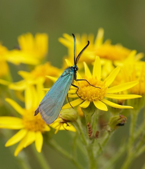 Adscita statices - Forester Moth, Woodside Nurseries, Austerfield.