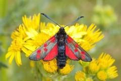 Zygaena filipendulae - Six-spot Burnet, Woodside Nurseries, Austerfield.