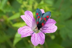 Zygaena lonicerae - Narrow-bordered Five-spot Burnet Moth, Woodside Nurseries, Austerfield.