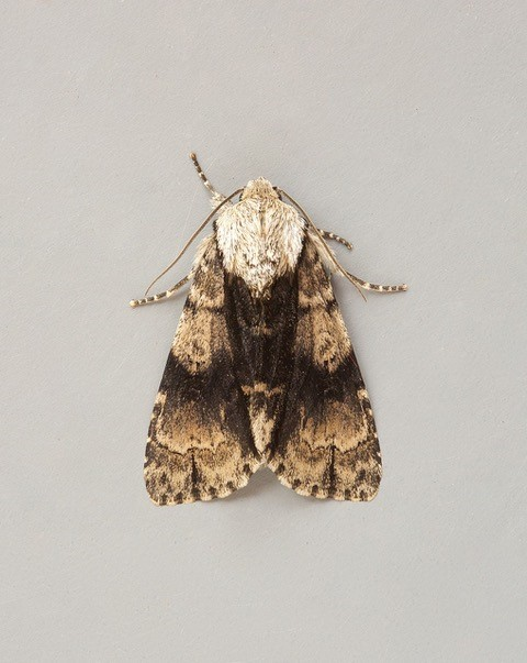 Acronicta alni - Alder Moth, Austerfield.
