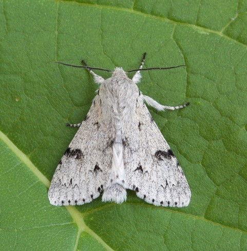 Acronicta leporina - The Miller, Austerfield.