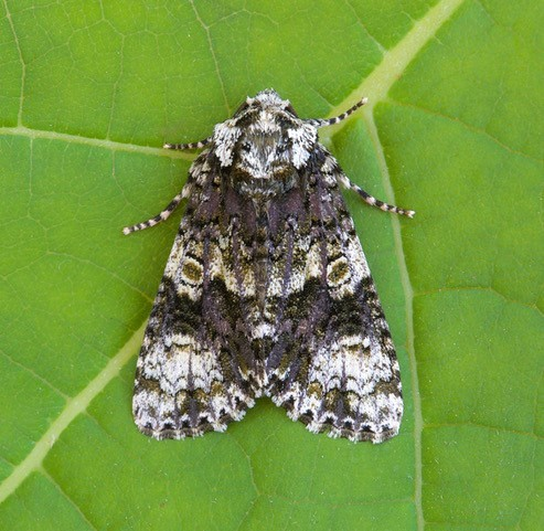 Craniophora ligustri - The Coronet, Austerfield.