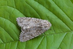 Acronicta aceris - The Sycamore, Austerfield.