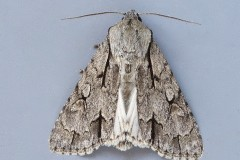 Acronicta tridens psi agg - Grey or Dark Dagger, Austerfield.