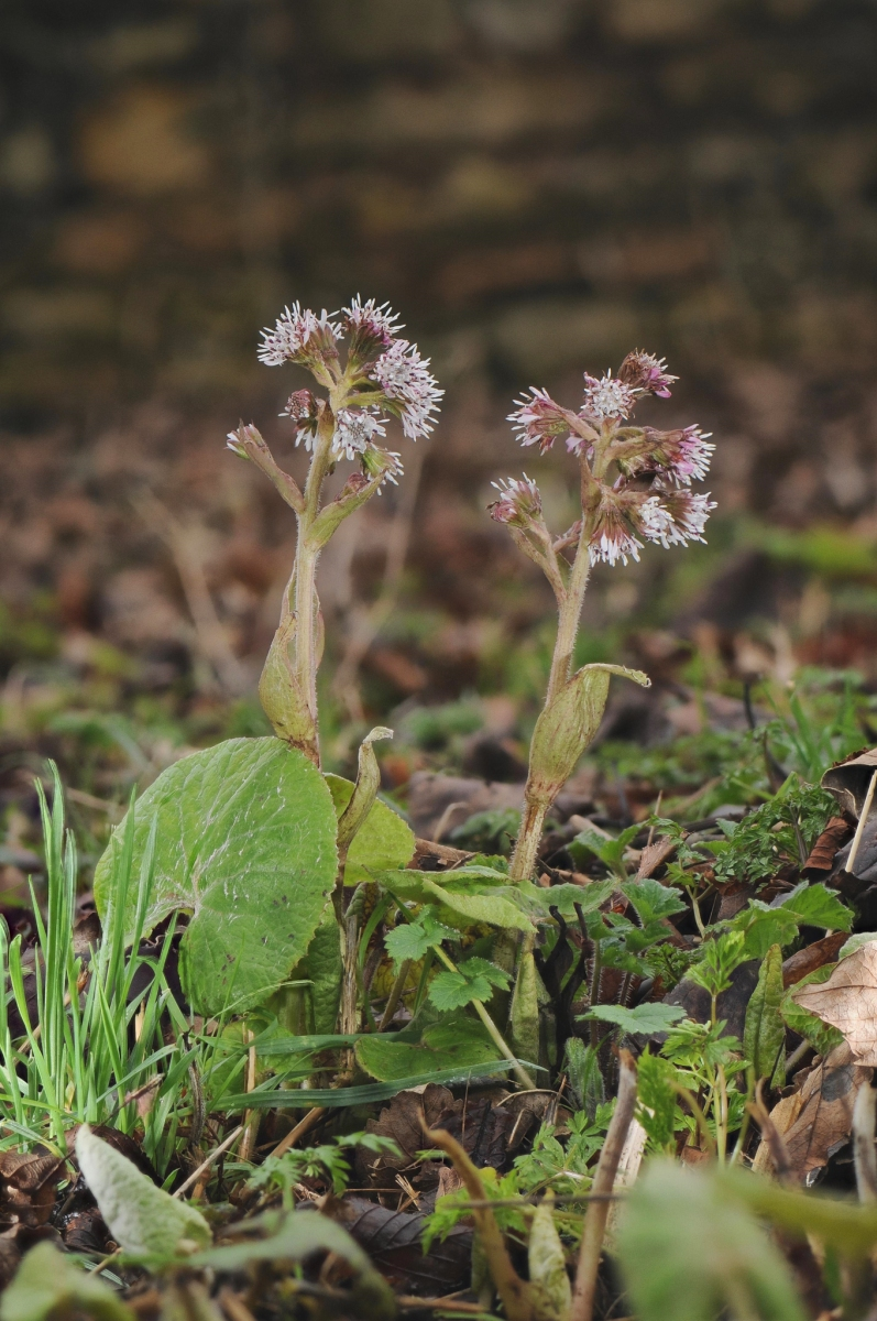 Winter Heliotrope - Petasites fragrans
