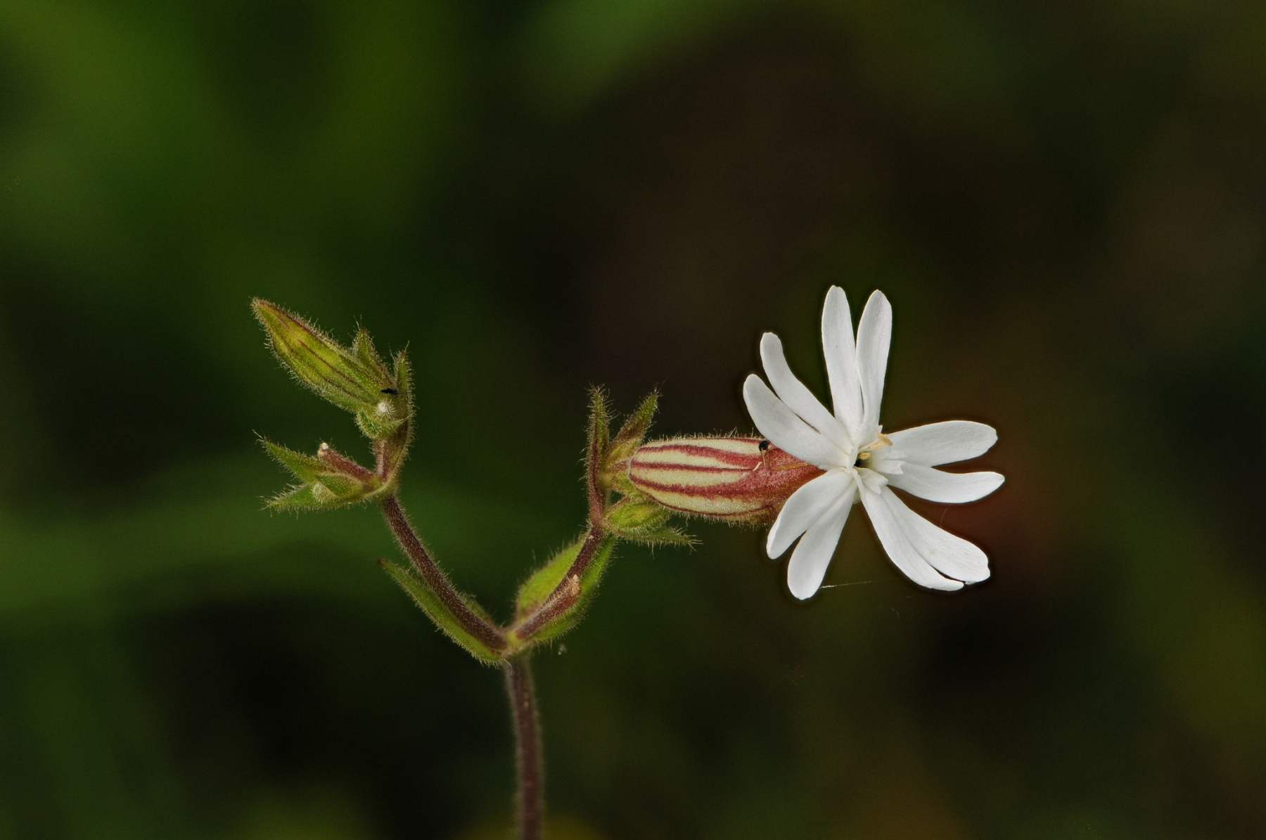 White Campion-Silene latifolia