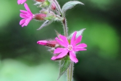 Red Campion-Silene dioica