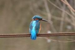Kingfisher at Fairburn Ings