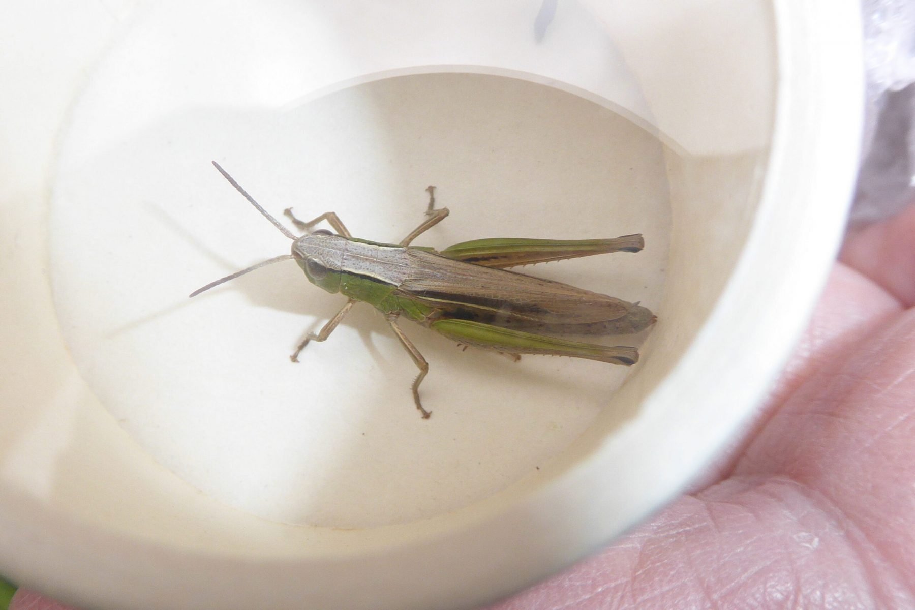 Lesser Marsh Grasshopper, Bentley Comm Wood