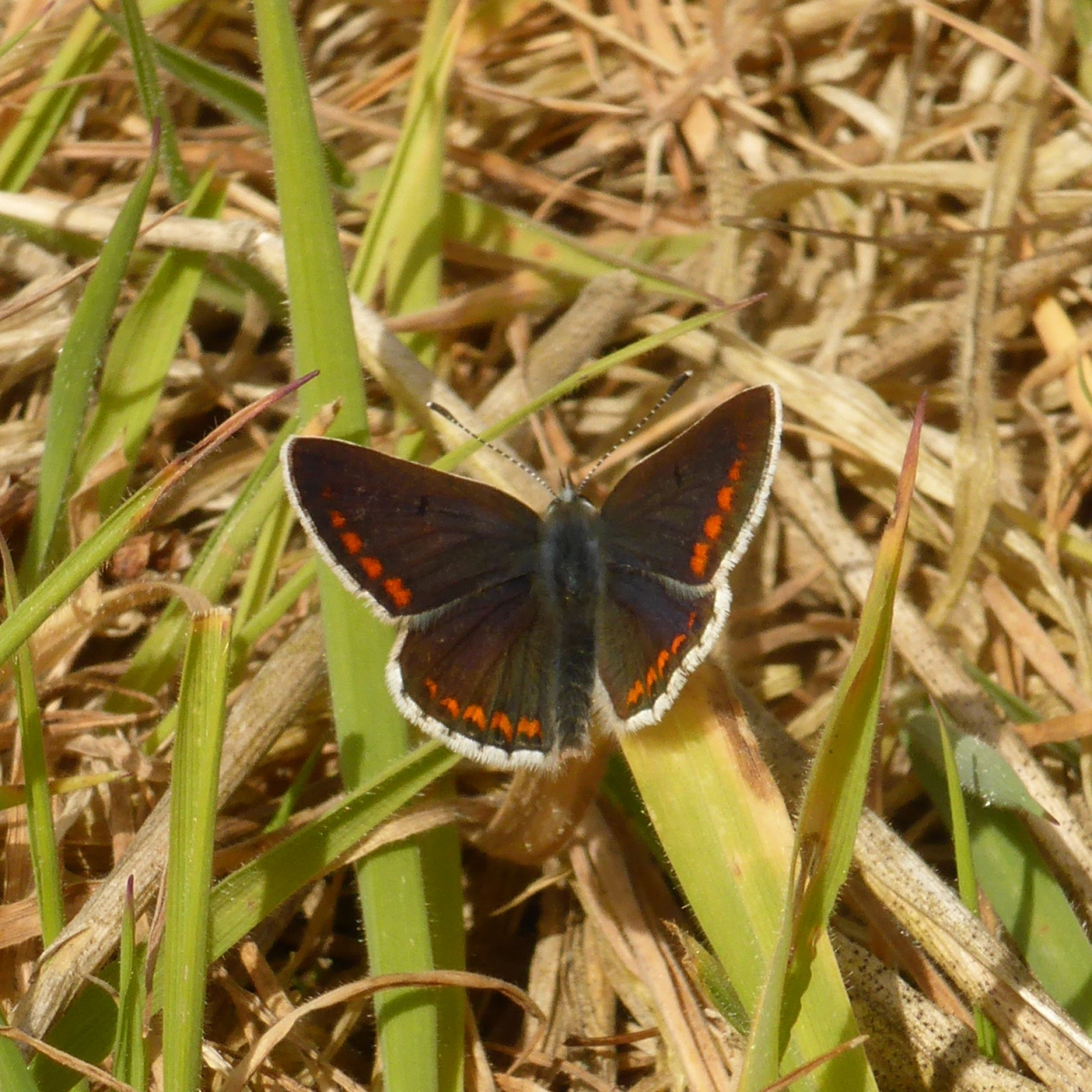 Brown-Argus - Aricia agestis (male),  Hills.