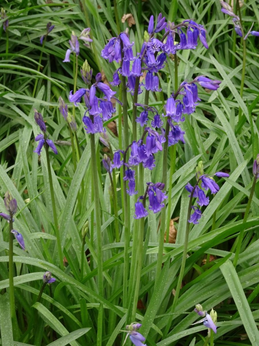 Bluebell- Hyacinthoides non-scriptus