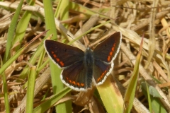 Brown-Argus - Aricia agestis (male)