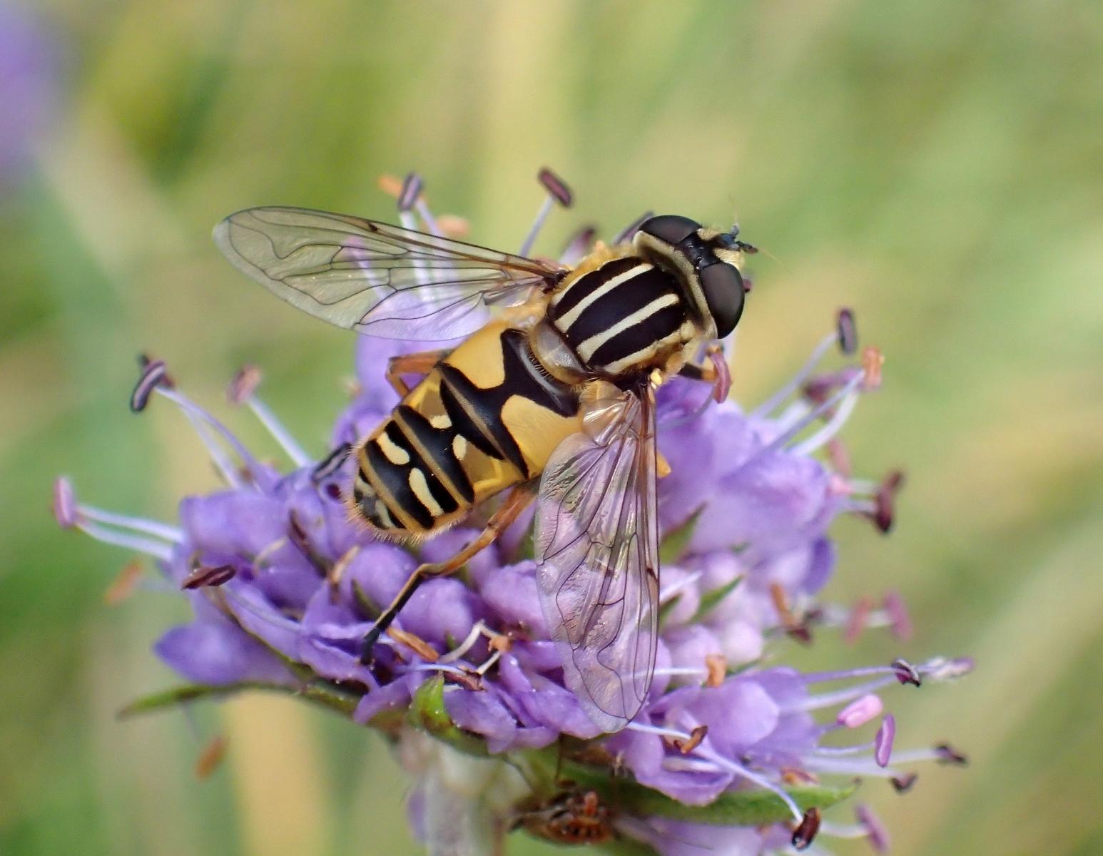 Hoverfly - Helophilus pendulus, Low Force, Teesdale.