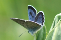 Large Blue - Maculinea arion.