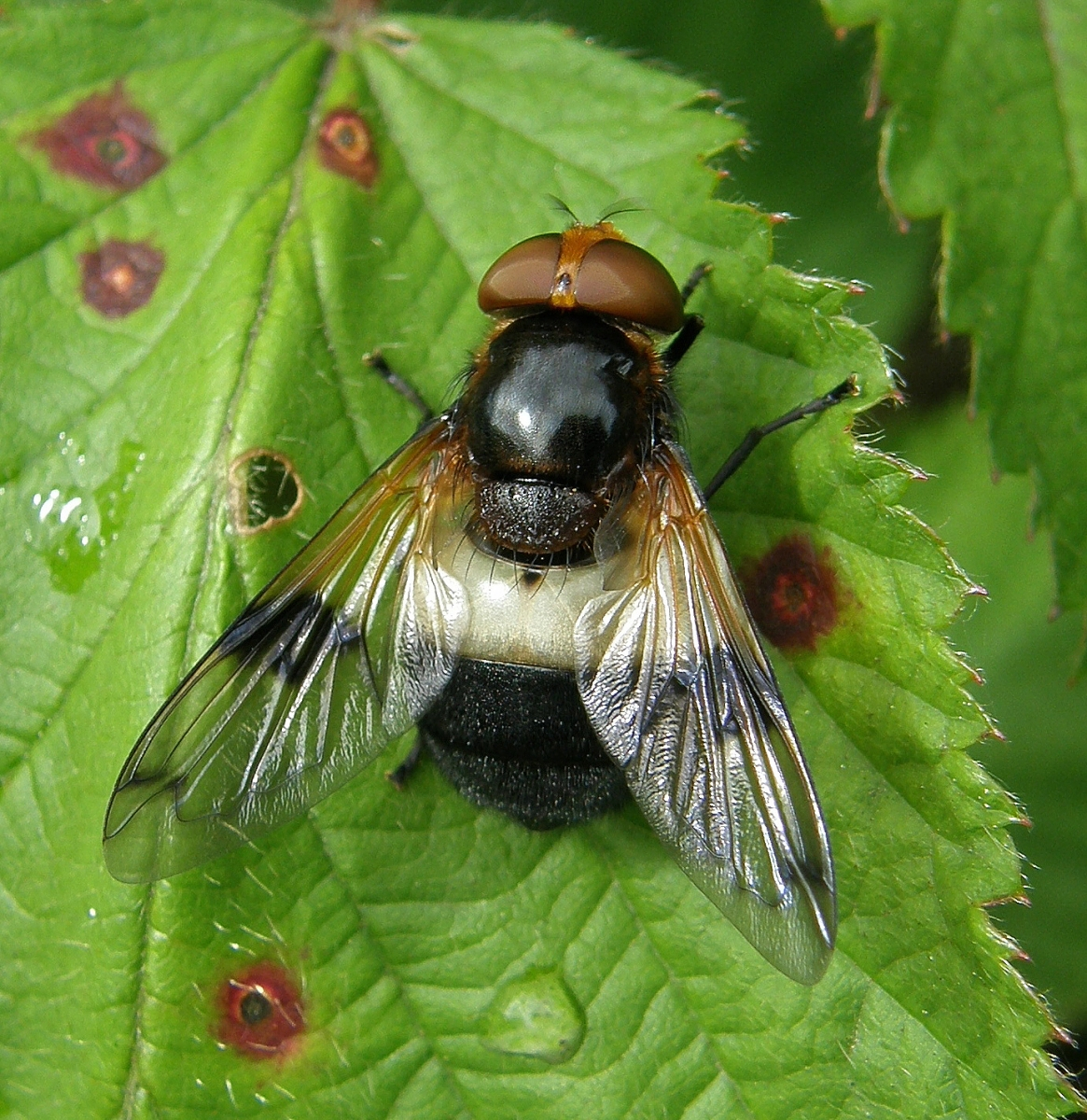 Volucella pellucens, Great Pied Hoverfly, Hartlebury, Common, Worcs.