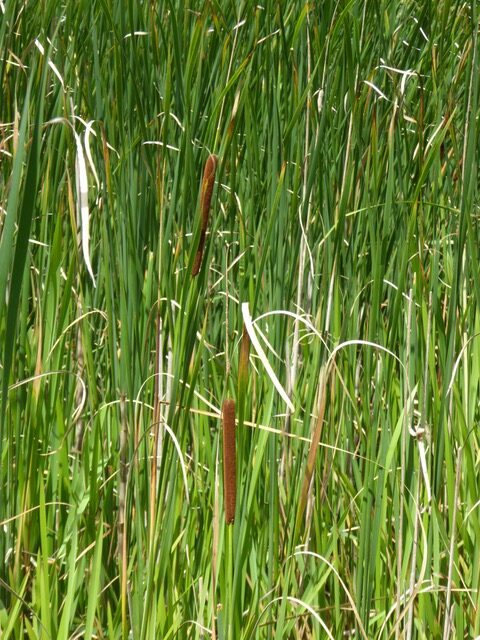 Lesser Reed Mace or Lesser Bulrush Typha angustifolia.
