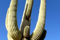 Saguaro cactus, Arizona, USA