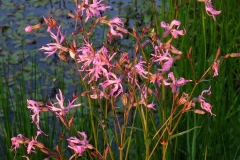 Ragged Robin, John Scott's Farm