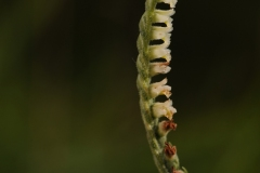 Autumn Lady's Tresses - Spiranthes spiralis