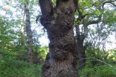 Oak Tree with burrs